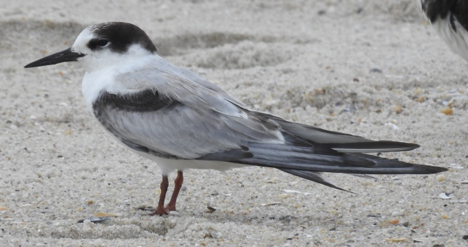 Common Tern, Beach opposite Second Ave., Cape May, NJ