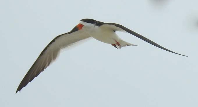 Black Skimmer, Beach opposite Second Ave., Cape May, NJ