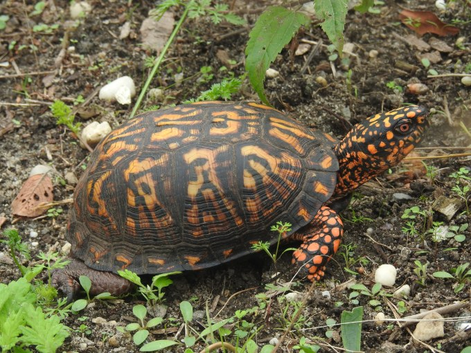 Eastern Box Turtle, Brigantine NWR, NJ