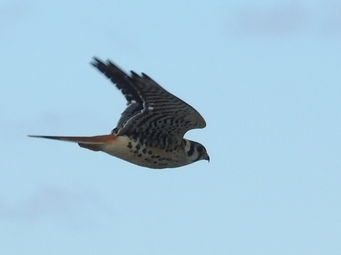 American Kestrel, Coral St. Platform, Cape May, NJ
