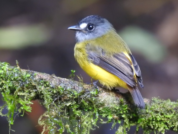 Ornate Flycatcher, Tandeyapa Bird Lodge, Ecuador