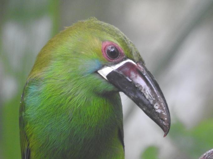 Crimson-rumped Toucanet, San Tadeo Birding, Mindo, Ecuador