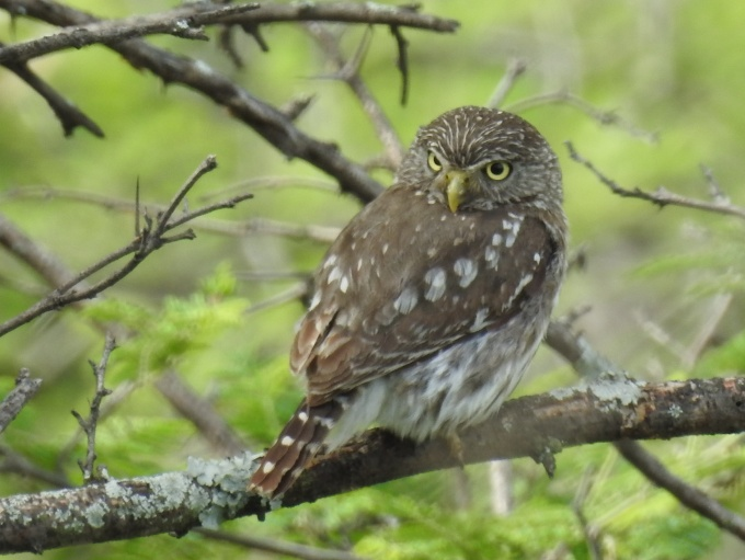Pacific Pygmy-Owl, Catamayo Valley, Ecuador