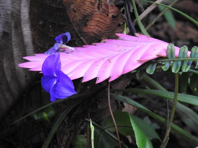 Heliconia, Milpe Sanctuary, Ecuador