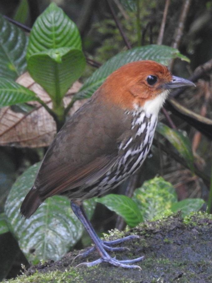 Chestnut-capped Antpitta, Refugio Paz de las Aves, Ecuador