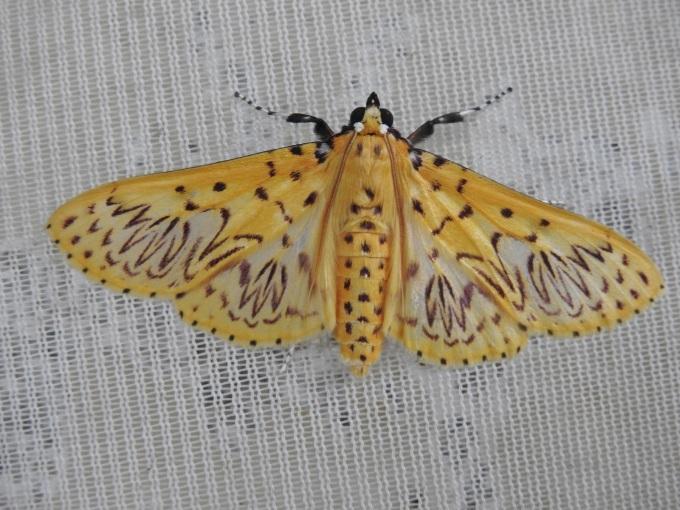Grass Moth (Polygrammoides sp.), Cordillera de Guacamayos, Ecuador