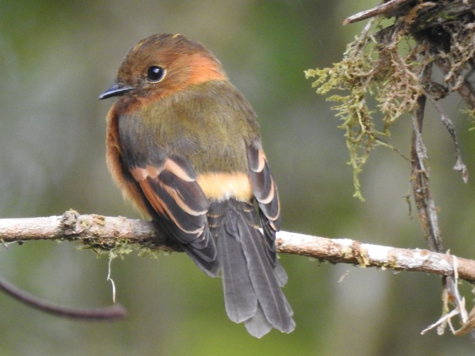 Cinnamon Flycatcher, San Isidro Lodge, Ecuador