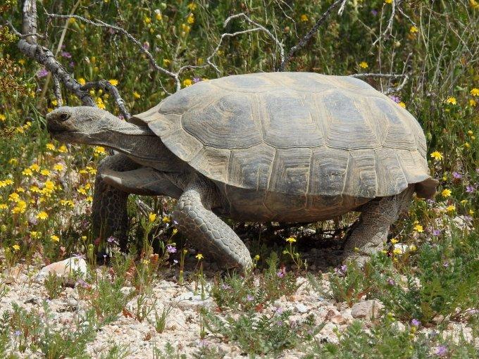 Desert Tortoise, Desert Tortoise Natural Area, CA