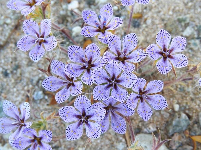 Langloisea setosissima ssp. punctata, NE of Joshua Tree NP, CA