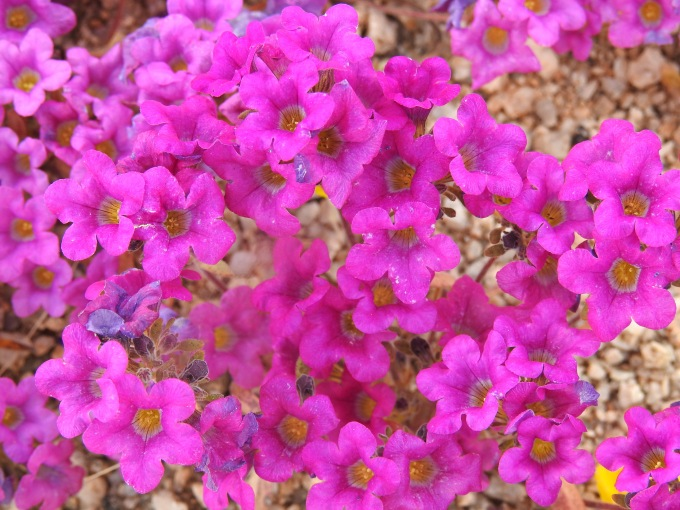 Nama demissum, Joshua Tree NP, CA