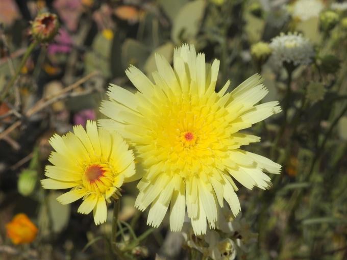 Malacothrix glabrata, Joshua Tree NP, CA