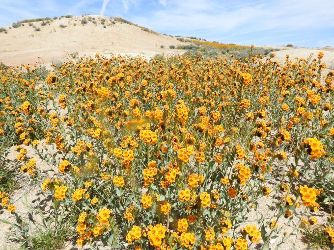 Amsinckia vernicosa var. furcata, Carrizo Plain NM, CA