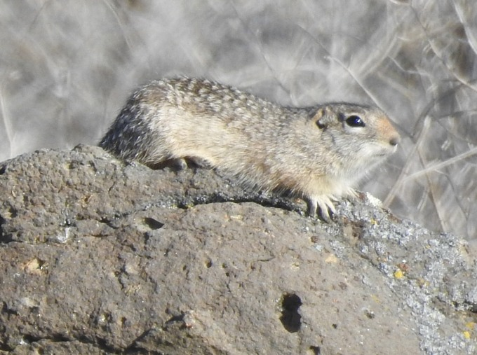 Washington Ground Squirrel, Moses Lake, WA