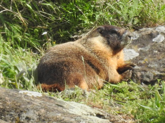 Yellow-bellied Marmot, Columbia River Gorge, WA