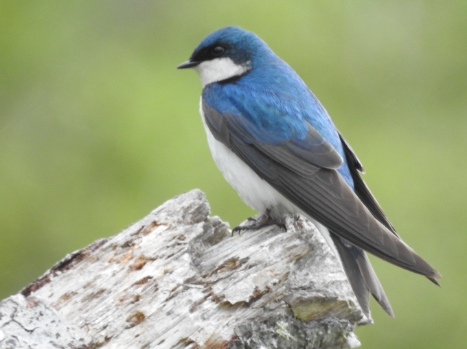 Tree Swallow, Lake Ozette, Olympic NP, WA