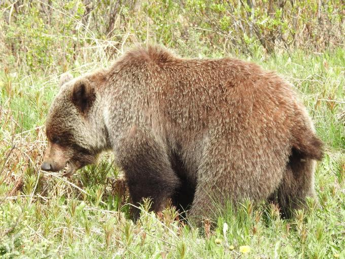 Grizzly Bear, Haines Highway, YT