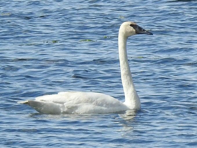 Trumpeter Swan, Deadman Lake, Tetlin NWR, AK