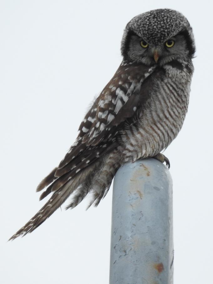 Northern Hawk-Owl, Glenn Highway, AK
