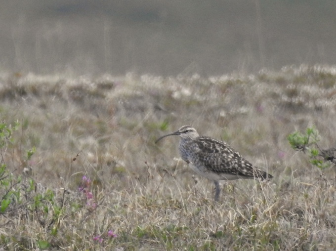 Bristle-thighed Curlew, Kougarok Road, Nome, AK