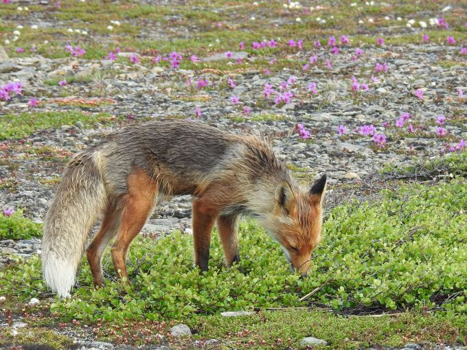 Red Fox, Kougarok Road, Nome, AK