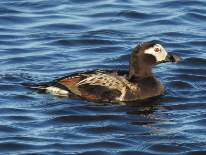 Long-tailed Duck, Nome, AK