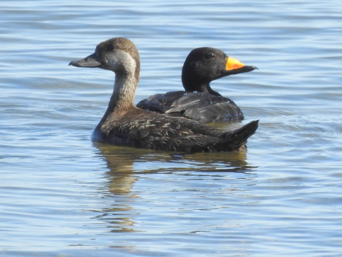 Black Scoter pair, Council Road, Nome, AK