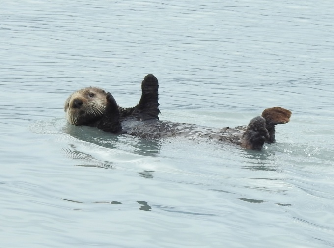 Sea Otter, Resurrection Bay, Seward, AK