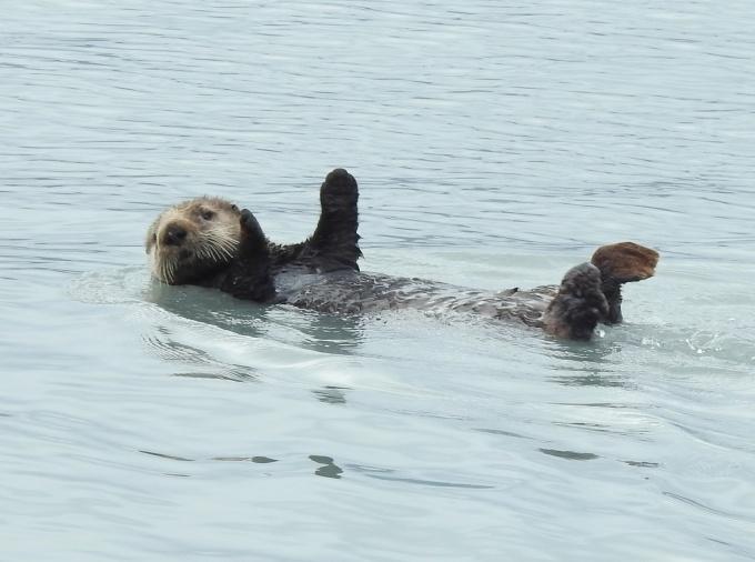 Sea Otter, Resurrection Bay, Seward, AK