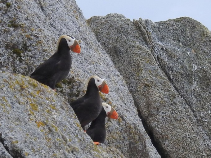Tufted Puffins, Chiswell Islands, Alaska Maritime NWR, AK