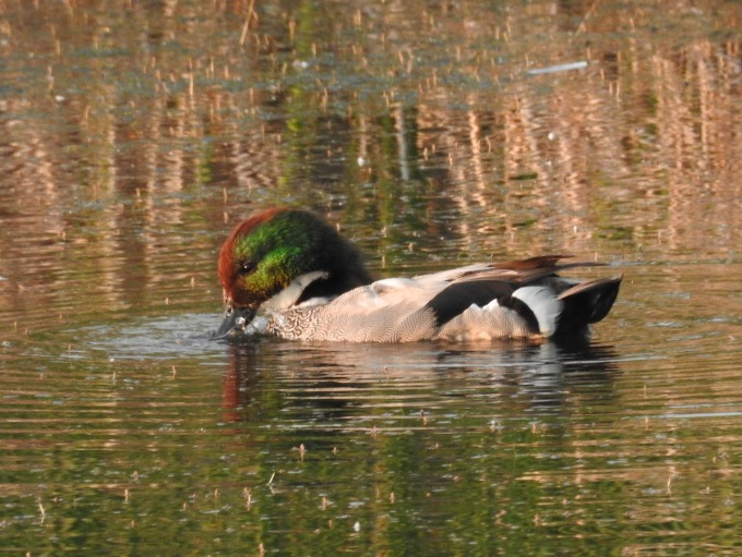 Falcated Teal, Potter Marsh, Anchorage, AK