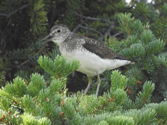 Solitary Sandpiper, Nabesna Rd, Wrangell-St. Elias NP, AK