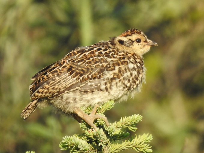 Spruce Grouse chick, McCarthy Rd, Wrangell-St. Elias NP, AK