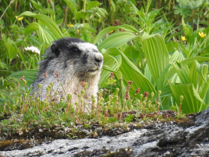 Hoary Marmot, Hatcher Pass, N of Palmer, AK