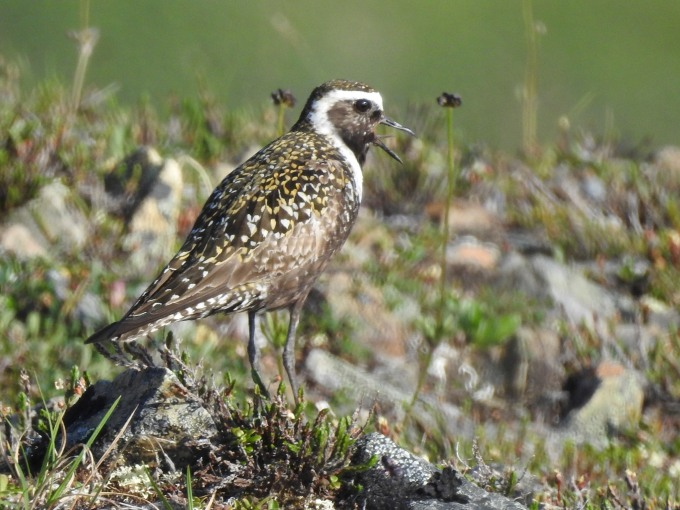 American Golden Plover, Denali Highway, AK