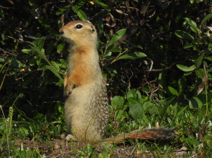Arctic Ground Squirrel, Dalton Highway, AK