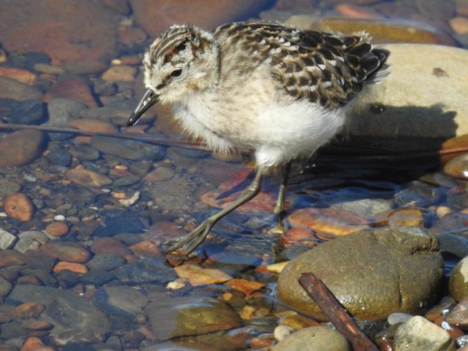 Semipalmated Sandpiper chick, Dalton Highway, AK