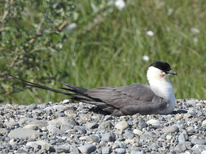 Long-tailed Jaeger, Dalton Highway, AK