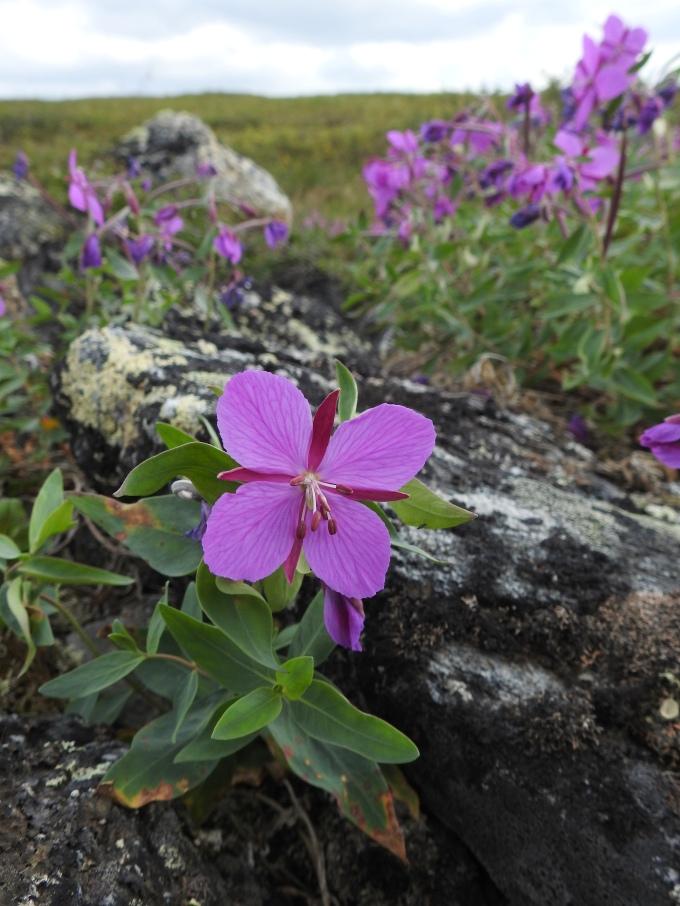 Chamaenerion angustifolium, Dalton Highway, AK
