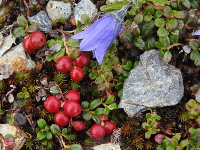Campanula lasiocarpa and Vaccinium vitis-idaea, Top of the World Highway, YT