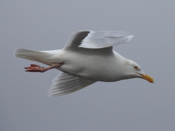 Glaucous Gull, Tuktoyaktuk, NWT