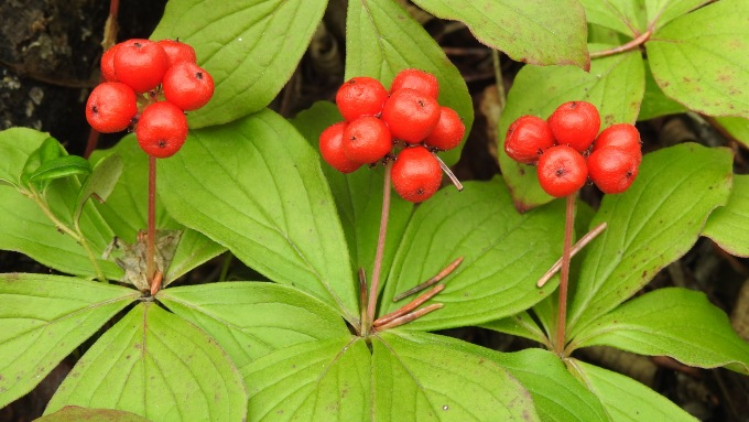 Cornus canadensis, North Klondike Highway, YT