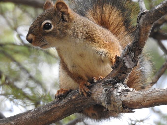 Red Squirrel, North Klondike Highway, YT