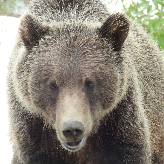 Grizzly Bear, Alaska Highway, BC