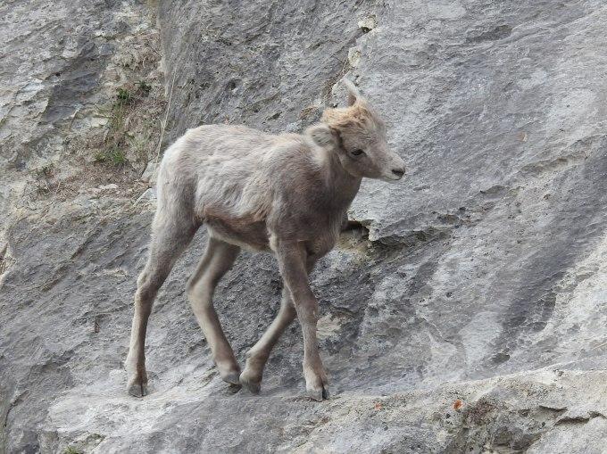 Bighorn Sheep, Jasper NP, AB