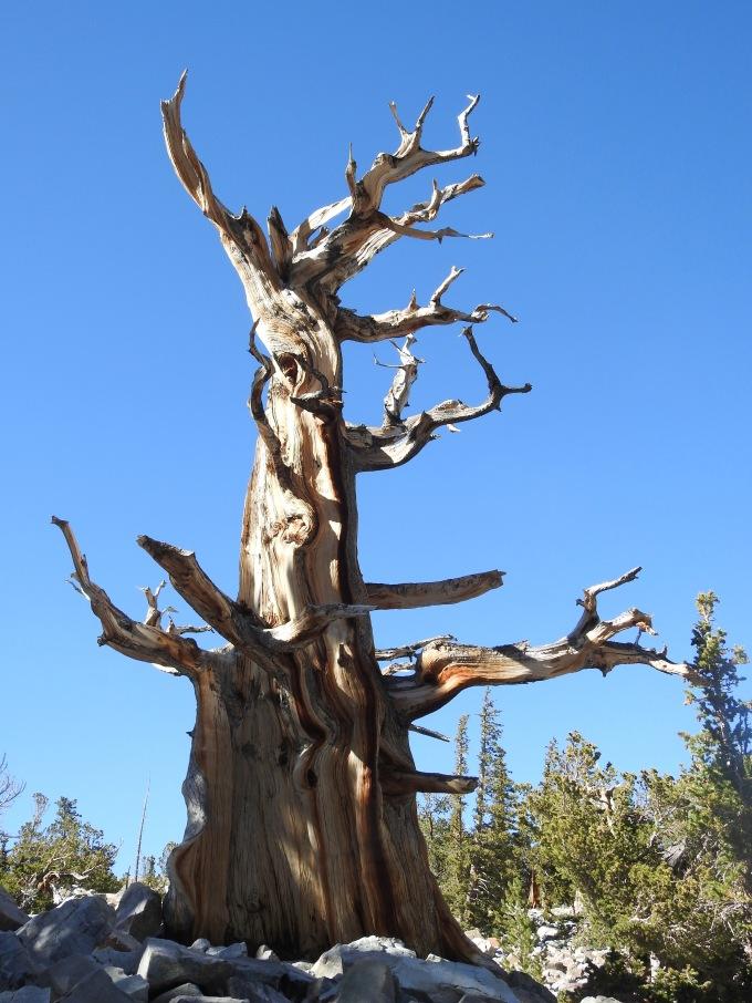 Pinus longaeva, Great Basin NP, NV