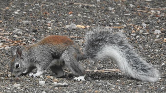 Tassel-eared Squirrel, Sunset Crater NM, AZ