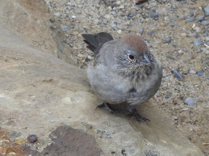 Canyon Towhee, Chaco Culture NHP, NM