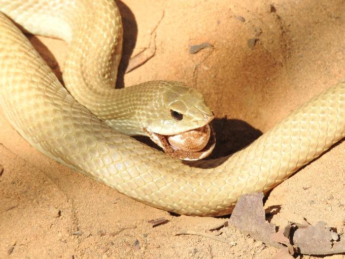 Madagascar Hog-nosed Snake, Ankarafantsika NP, Madagascar