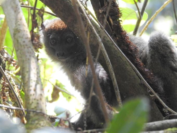 Gray Bamboo Lemur, ELK #400, Ranomafana NP, Madagascar