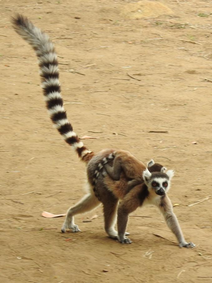 Ring-tailed Lemur, Ambalavao Park, off RN7, Madagascar